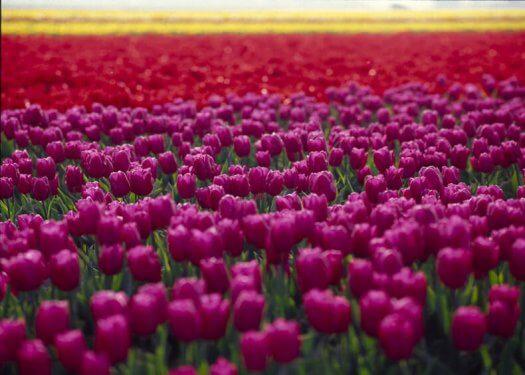 02 tulpen fotografie voorjaar kleuren bloemen s94 49 525x375