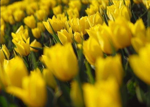 03 tulpen fotografie bloemen voorjaar s97 41 525x377